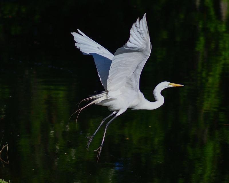 may 28 2348 white egret takeoff