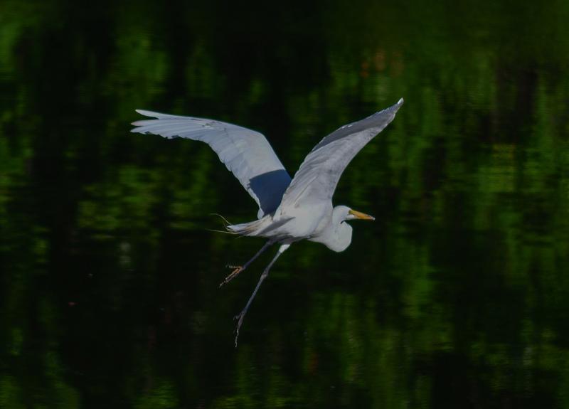 may 28 2351 white egret bad leg