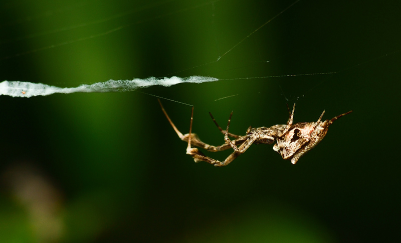 may 28 2473 uloborus glomosus manipulating web