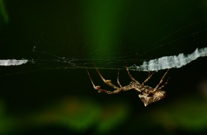 may 28 2477 uloborus glomosus manipulating web