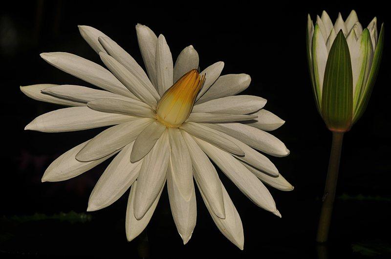 may 28 6967 night lotus