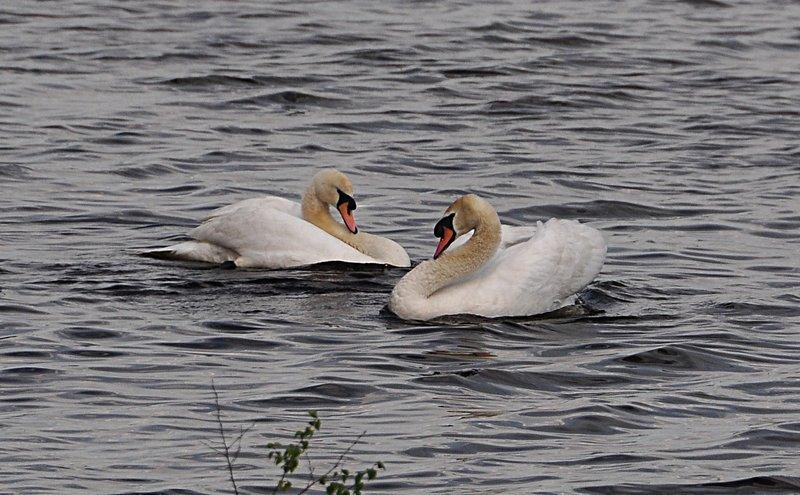 may 29 5719 lake swans
