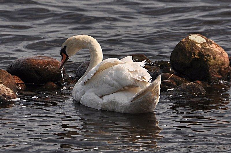 may 29 5762 swan drops