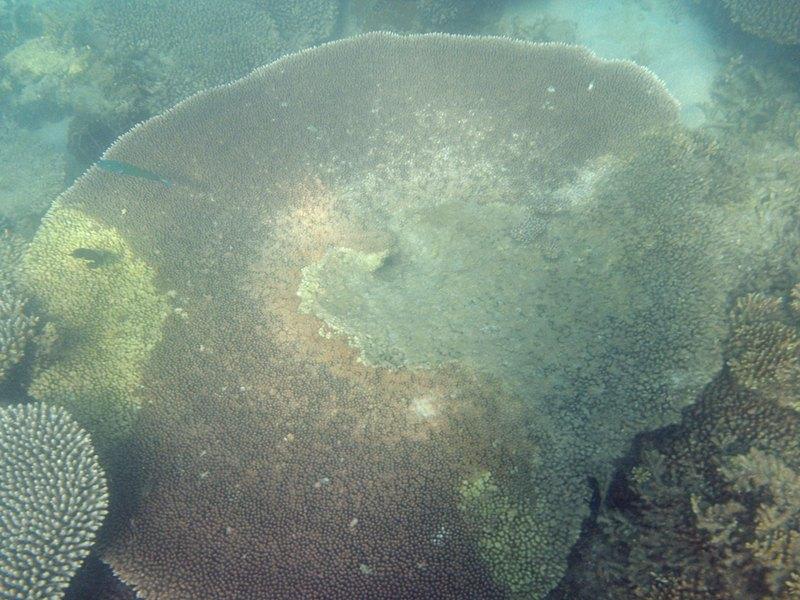 may 30 0706 table coral