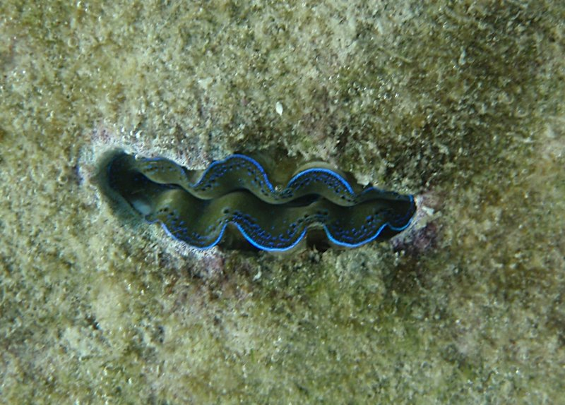 may 30 0722 giant clam