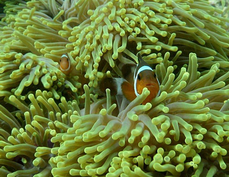 may 30 0741 clown fish
