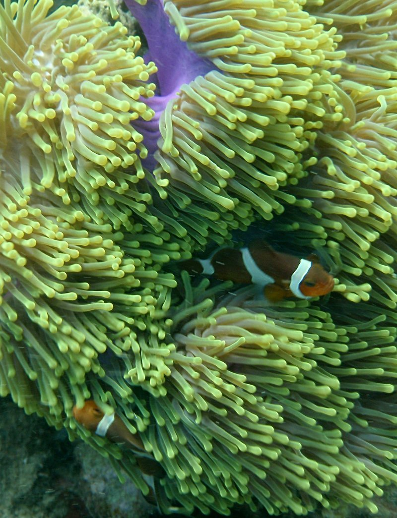 may 30 0743 clown anemone