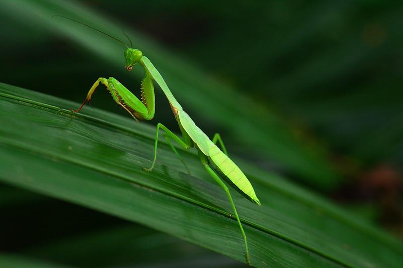 Essay/Term paper: The praying mantis