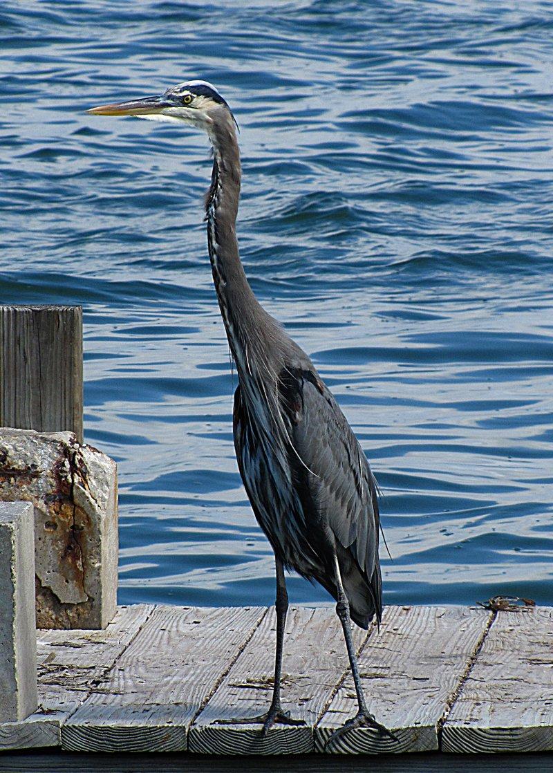 nov 01 0236 blue heron