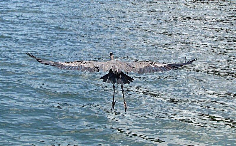 nov 01 0272 blue heron flight