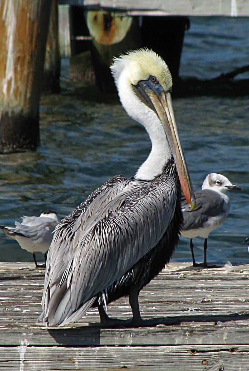 nov 01 0287 pelican