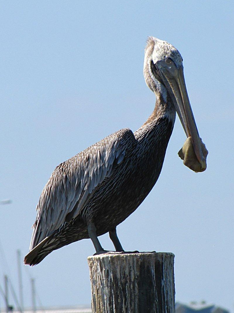 nov 01 0298 pelican