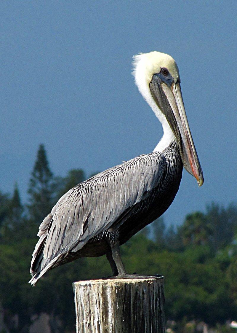 nov 01 0311 pelican