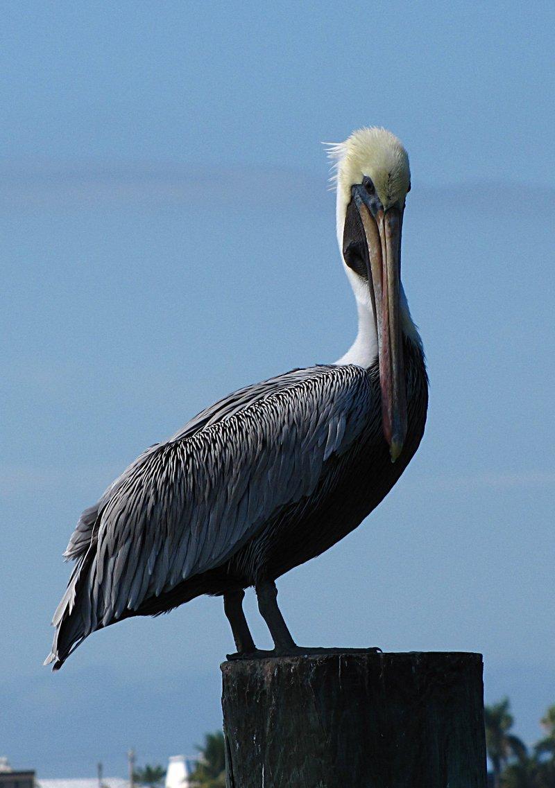 nov 01 0343 pelican