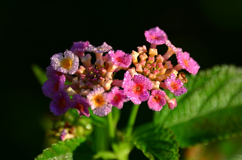 lantana essays As nik throws the shoe into the lantana bush he is driven not by self preservation but rather an instinctive desire to protect his family.