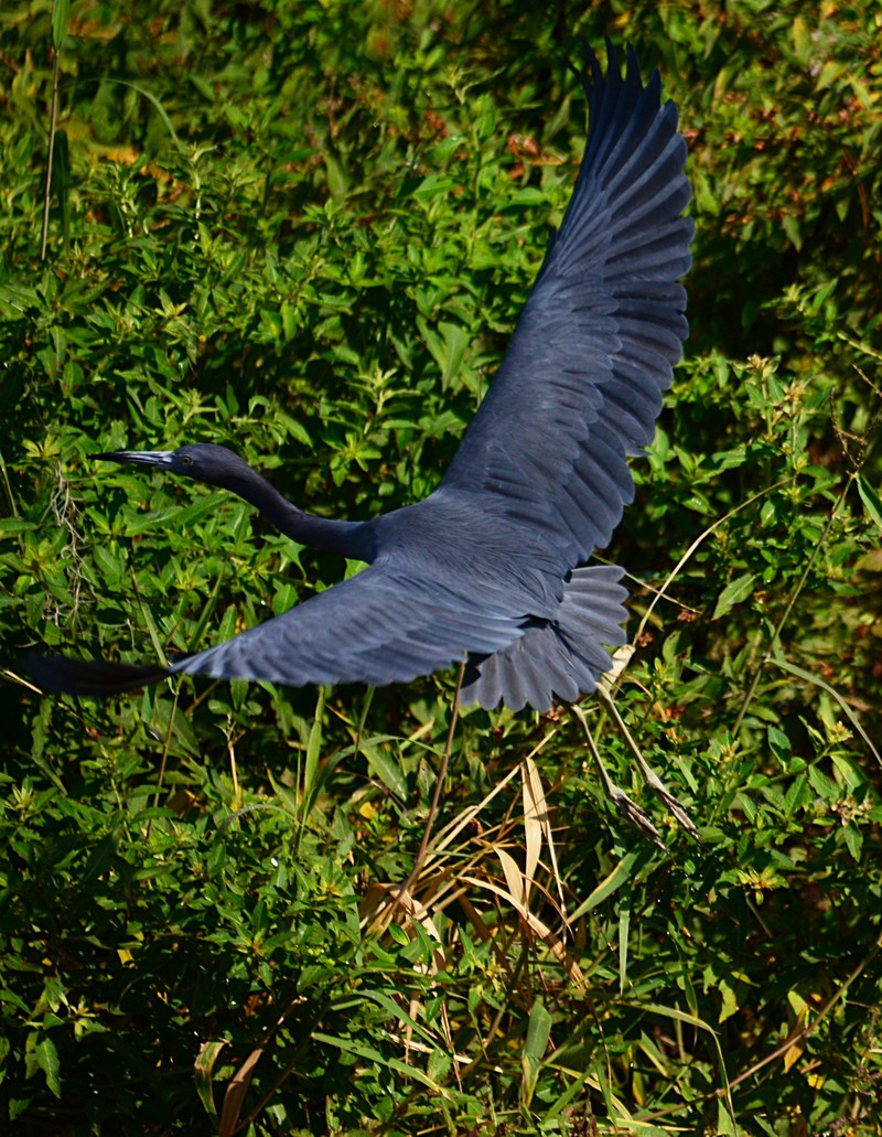 Great blue heron wings her way across the lake     Babsje  https