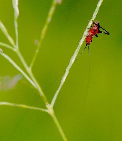 nov 04 8423 orange cricket long antennae