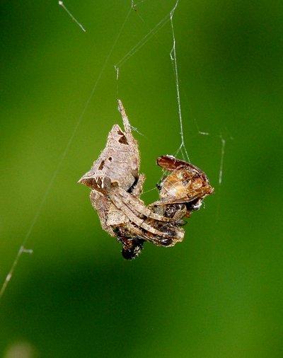 nov 04 8464 camouflage spider eye