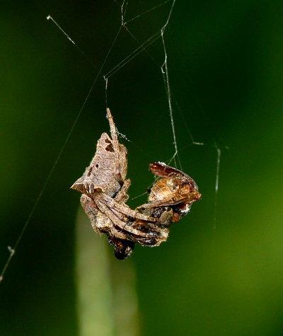 nov 04 8470 camouflage spider dinner