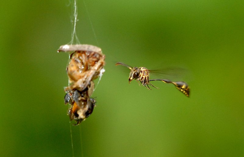 the spider and the wasp by alexander petrunkevitch essay