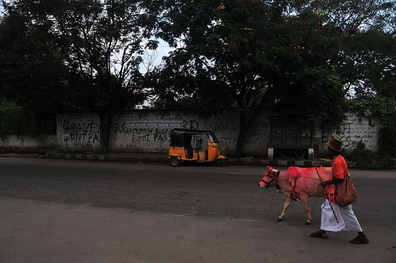 nov 13 5364 cow