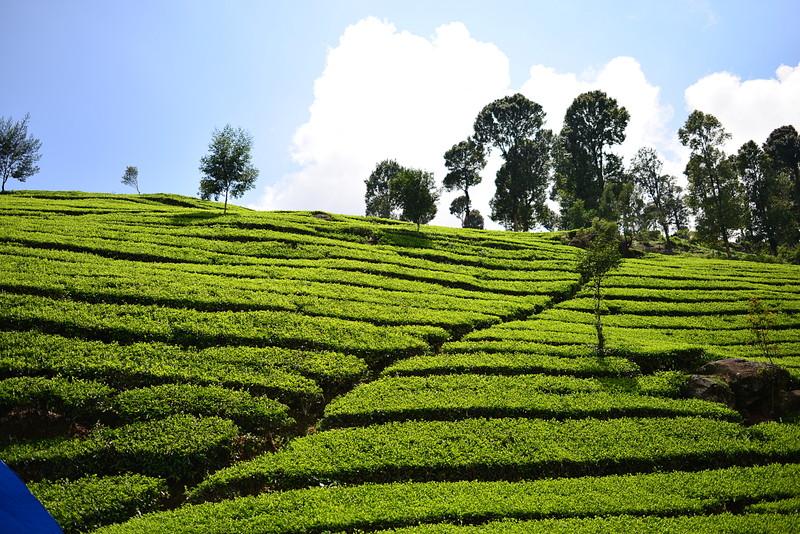 nov 16 1215 tea field