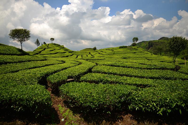 nov 16 1266 tea field