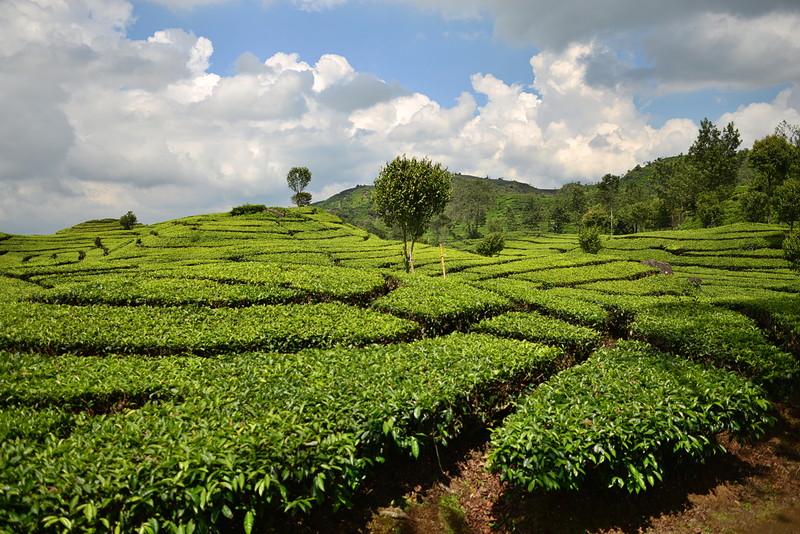 nov 16 1270 tea field