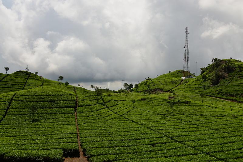 nov 16 1455 tea field