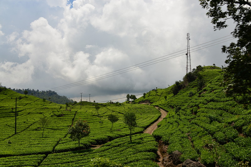 nov 16 1459 tea fields