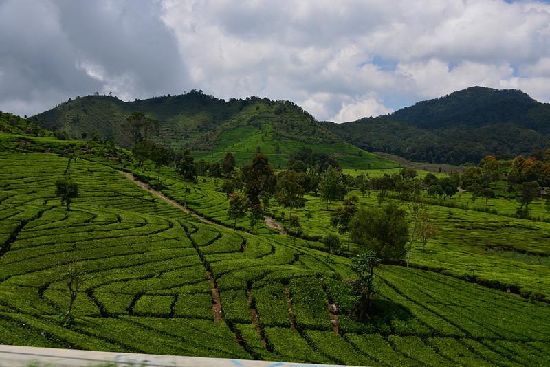 nov 16 1479 tea fields