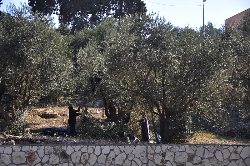 nov 17 1025 harvesting olives