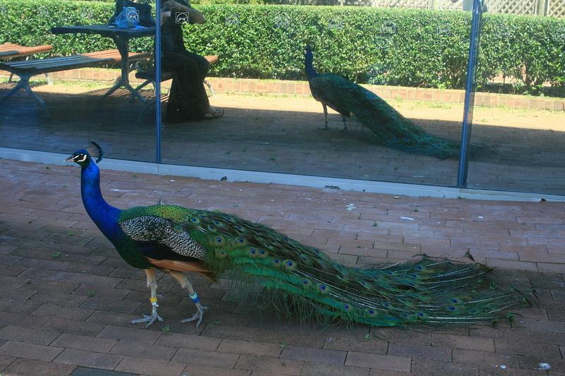 nov 20 3704 peacock reflection