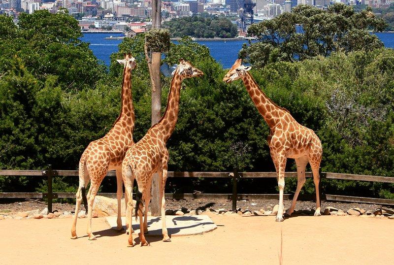 nov 20 3761 giraffe