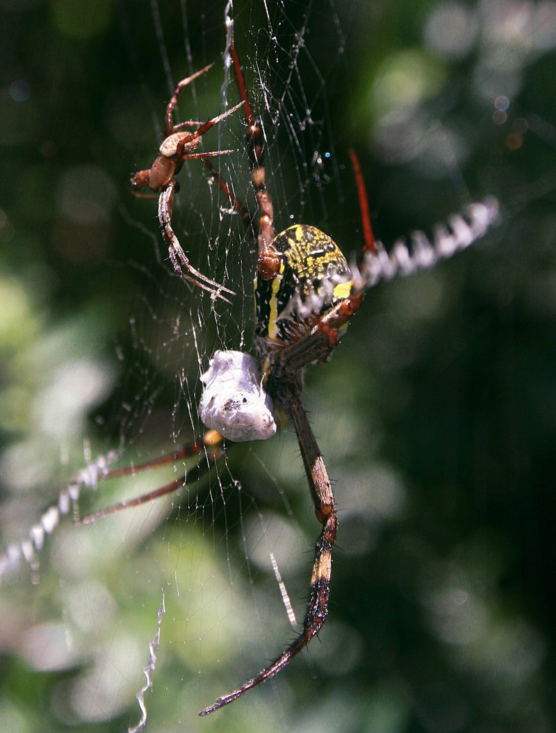 nov 20 3868 male female argiope side