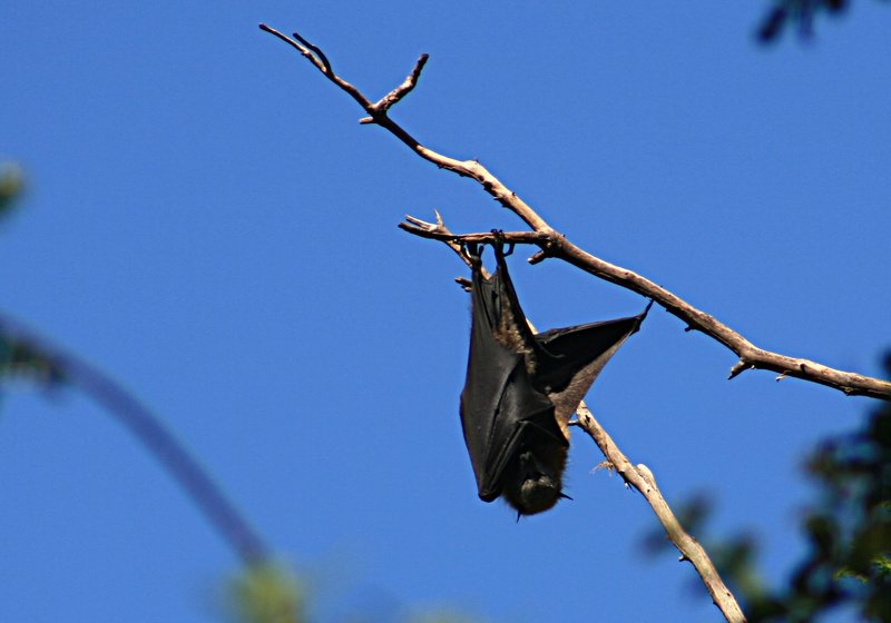 nov 20 4133 bat hanging
