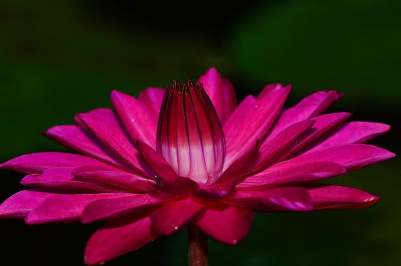 nov 20 4977 pink lotus