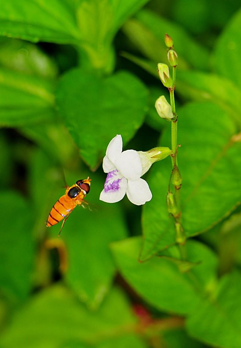 nov 20 6851 hoverfly white uorchid