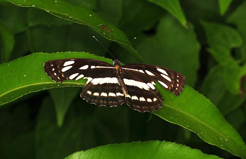 nov 20 6904 zebra butterfly
