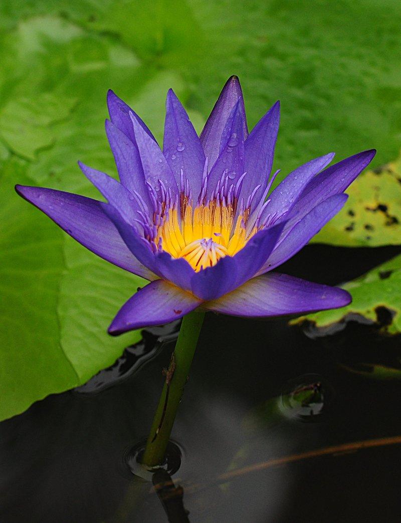 nov 20 9549 blue lotus core