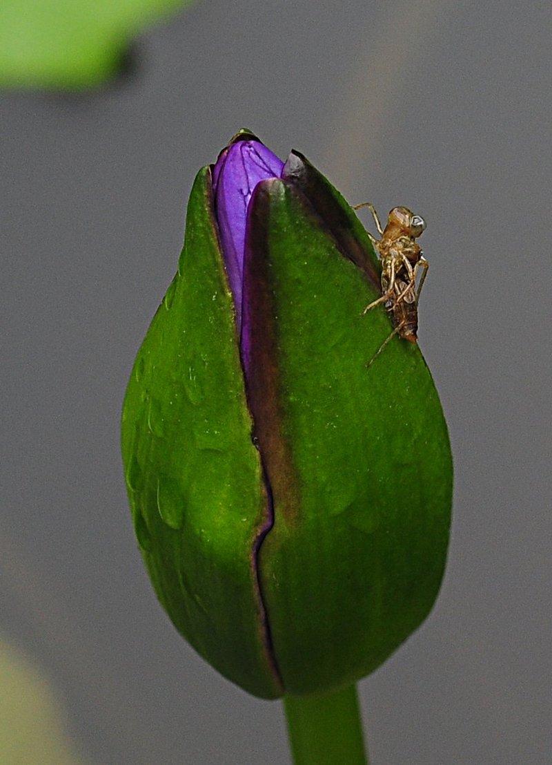 nov 20 9551 blue lotus bug
