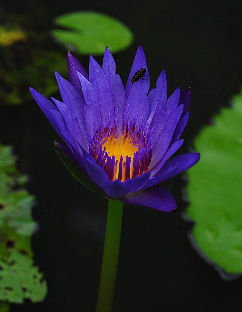 nov 20 9588 blue lotus fly