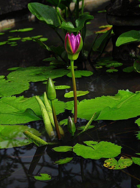 nov 20 9591 pink lotus