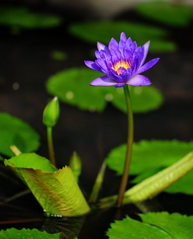 nov 20 9596 blue lotus.