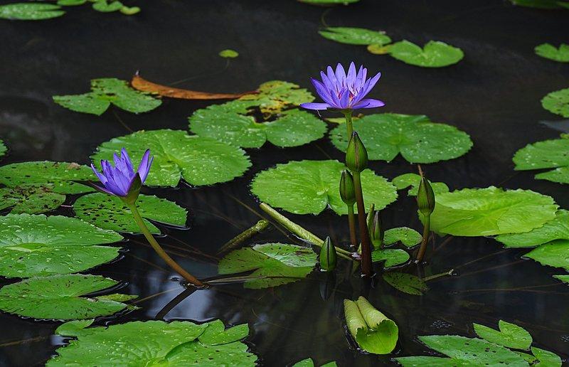 nov 20 9608 blue lotus
