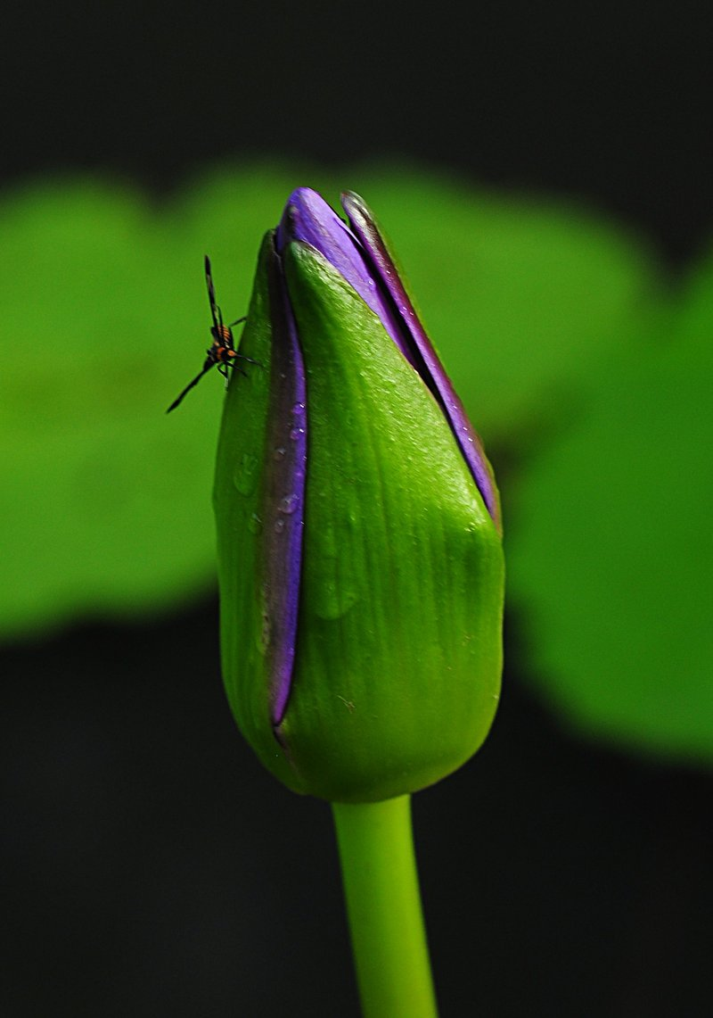 nov 21 0559 skipper lotus bud
