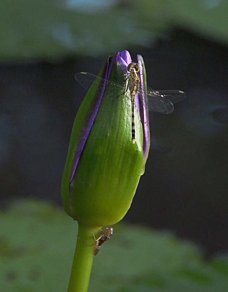 nov 22 1661 dfly lotus bud