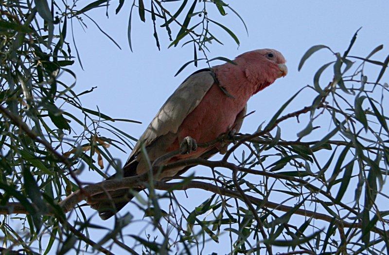 nov 22 4438 parrot
