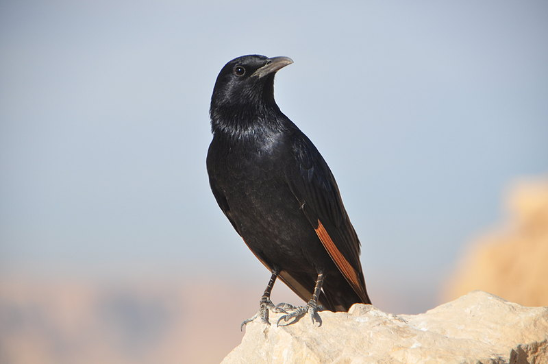 nov 24 3952 black bird
