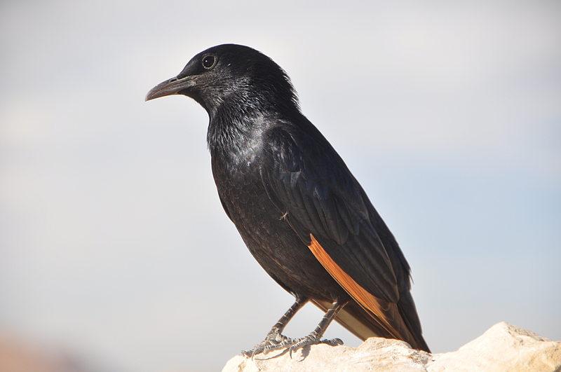 nov 24 3955 black bird
